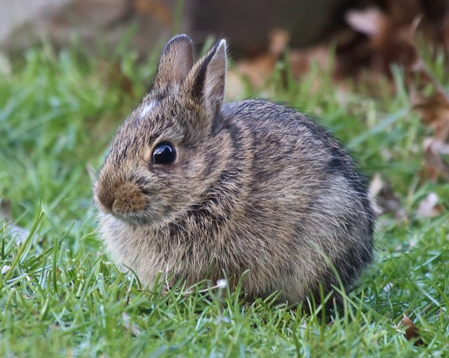 5 young cottontail.jpg